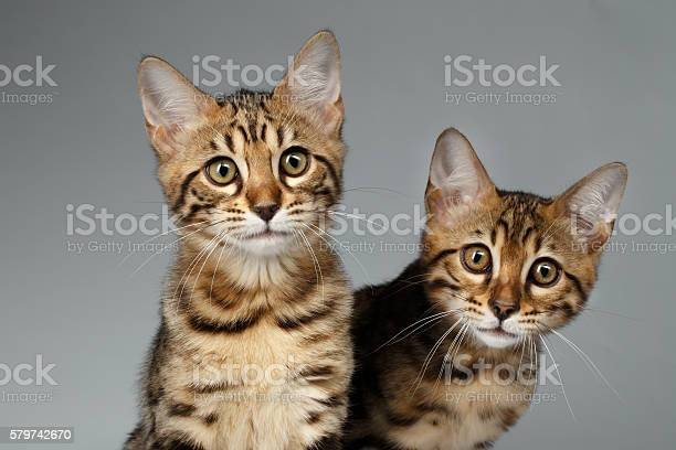 Closeup portrait of two bengal kitten on white background picture id579742670?b=1&k=6&m=579742670&s=612x612&h=etl vqvhwg247zcspo6ipkxveqq5scs ybo4lpdb ua=