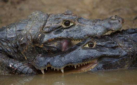 Closeup of Black Caiman (Melanosuchus niger) jaw wide open showing teeth in field of green swamp Transpantaneira, Pantanal, Brazil.