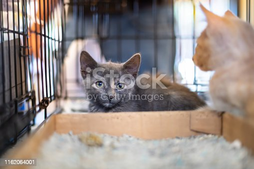 Closeup portrait of two gray and ginger kittens, domestic stray abandoned cats in cage shelter waiting for adoption behind bars