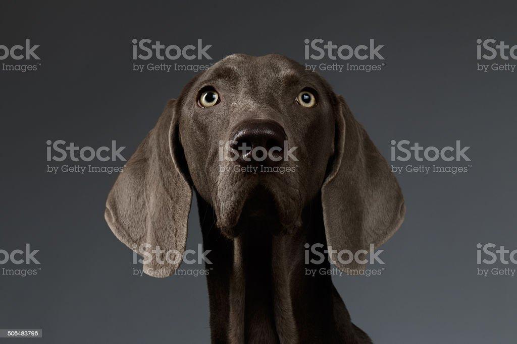 Gros plan Portrait de chien Braque de Weimar la recherche dans la caméra, blanc gradient - Photo