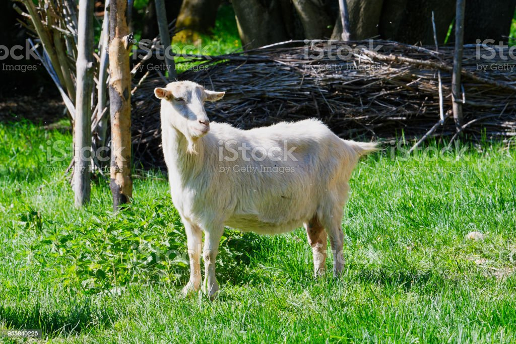 Close-up portrait of white adult goat grassing on green summer meadow field stock photo