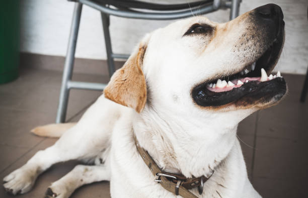 Closeup portrait of white labrador retriever picture id1002756650?b=1&k=6&m=1002756650&s=612x612&w=0&h=kc3bykykoyaxv9ll jf1pgbpshc4t5jlyfdqw40wqkc=