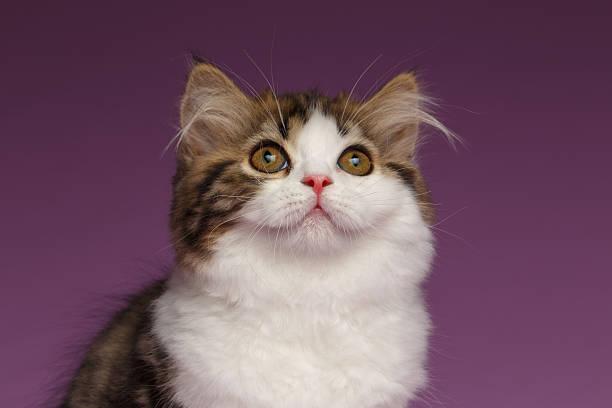Closeup portrait of white scottish straight kitten on purple picture id506344236?b=1&k=6&m=506344236&s=612x612&w=0&h=owtffytf7mrhenzfszn8st5sjo ivsgmawoe8ej2o9c=
