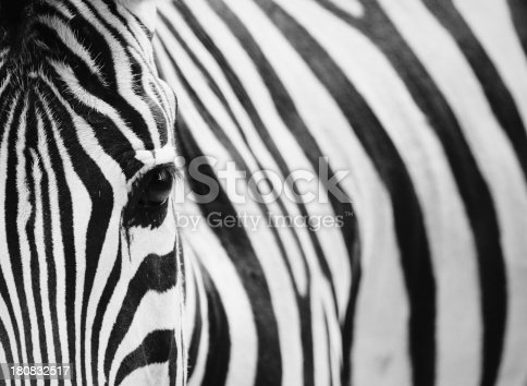 istock Close-up Portrait of Zebra 180832517