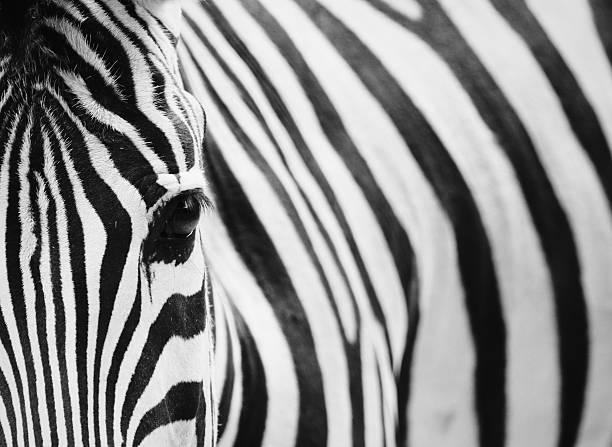 close-up retrato de zebra - padrões zebra imagens e fotografias de stock