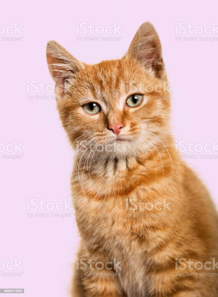 Close-up portrait on a ginger cat, purple background stock photo