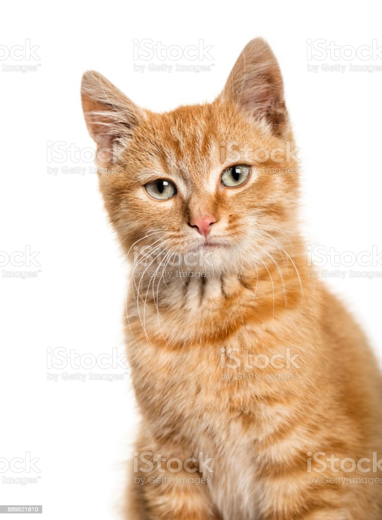 Close-up portrait on a ginger cat, white background stock photo