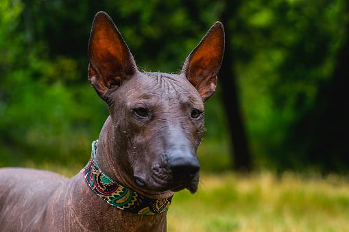 Closeup Portrait One Mexican Hairless Dog In A Collar On A