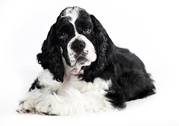 close-up portrait puppu  American Cocker Spaniel stock photo
