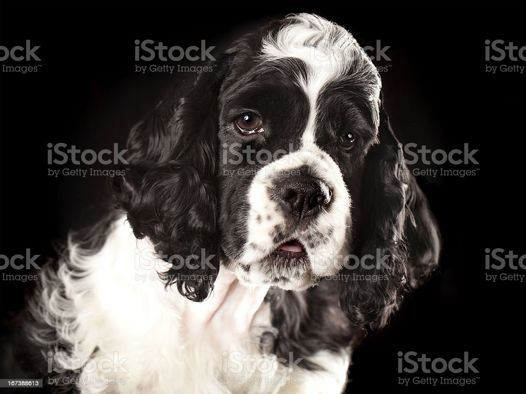 close-up portrait puppu  American Cocker Spaniel royalty-free stock photo