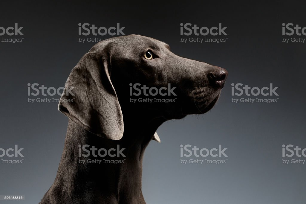 Close-up Portrait Weimaraner dog in Profile view on white gradient stock photo