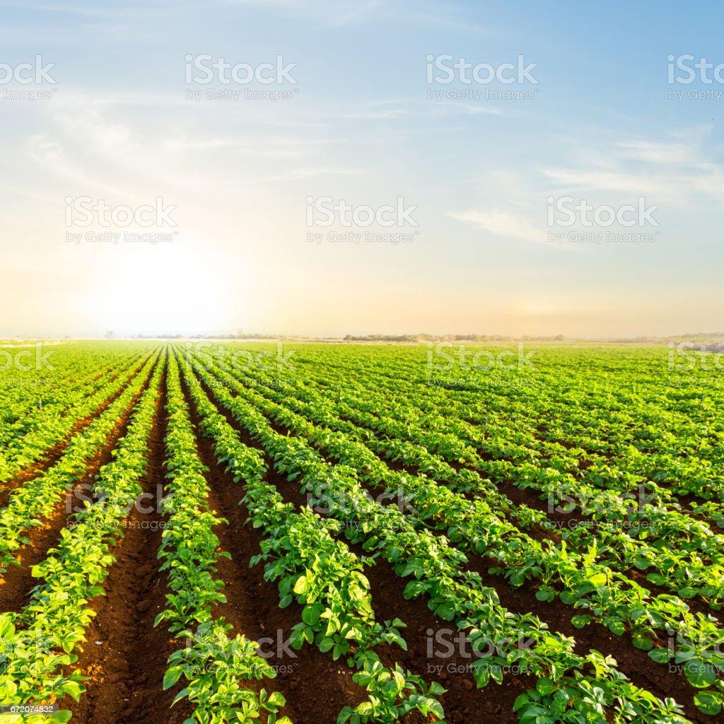 closeup potato field at the sunset stock photo