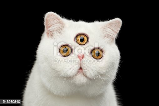 istock Close-up predictor Pure White Exotic Cat Head Isolated Black Background 543560840