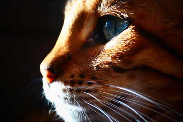 Closeup profile bengal cat on black background picture id1197302718?b=1&k=6&m=1197302718&s=612x612&w=0&h=jq9jtwaoh5kj7aohpd cb8udfks2 13oaj1d6o3mb3g=