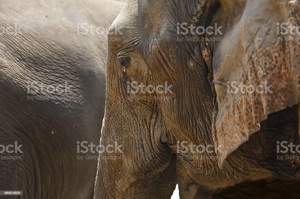 Close-up profile elephant head. royalty-free stock photo