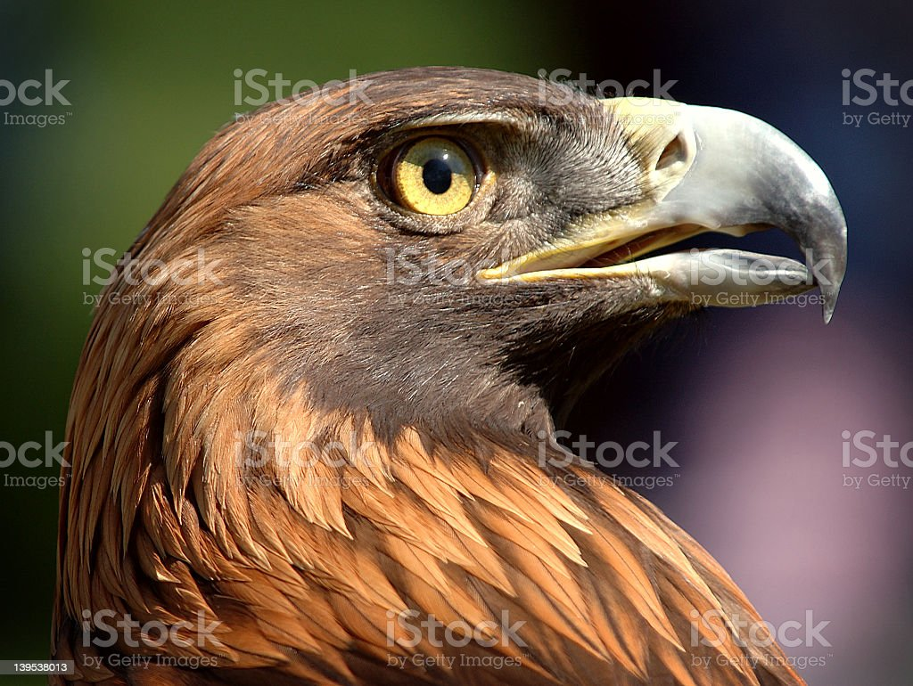 Close-up profile of a golden eagle Aquila chrysaetos stock photo