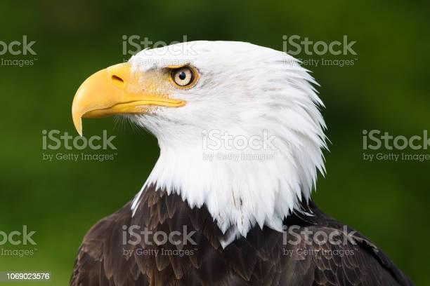 Closeup profile of bald eagle picture id1069023576?b=1&k=6&m=1069023576&s=612x612&h=llflvmxb9mgmo3x9hirpomky4zxquoab5aauo9sdehe=