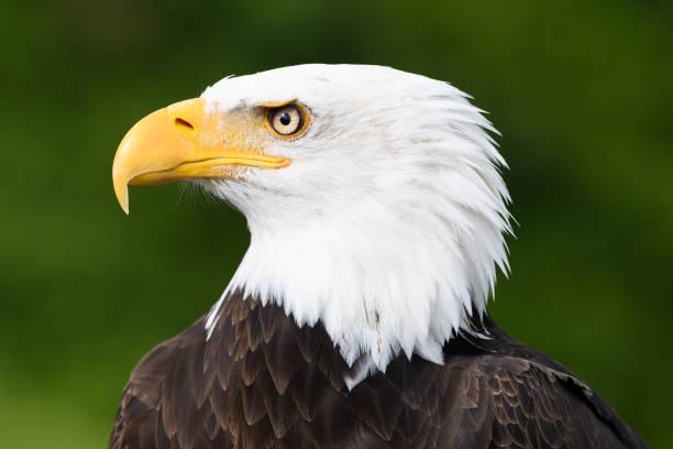 Closeup profile of bald eagle picture id1069023576?b=1&k=6&m=1069023576&s=612x612&w=0&h=pepmaqfothidmzvn spxkh229xjitgj5iigs73ohfhy=