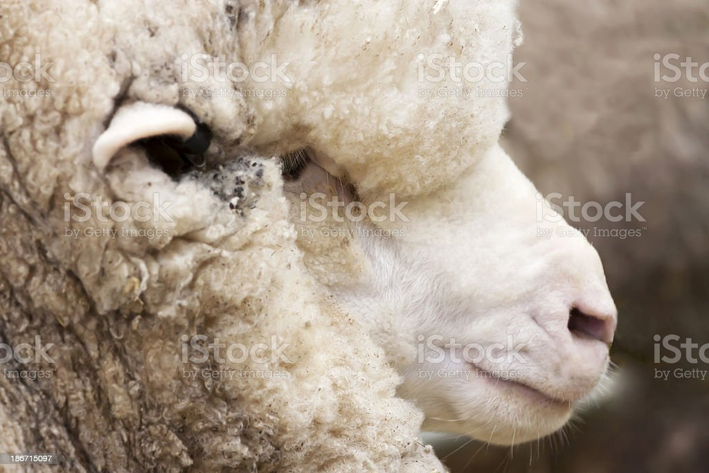 Closeup profile of lamb head, copy space royalty-free stock photo