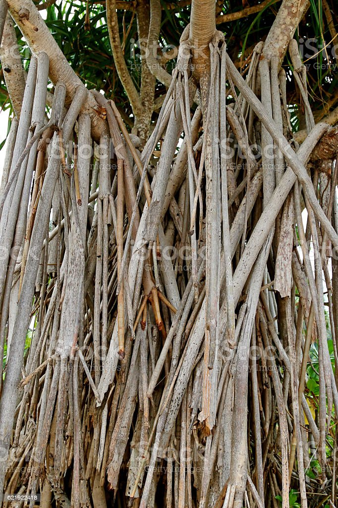 Closeup prop roots anchoring tree of screwpine to the ground stock photo