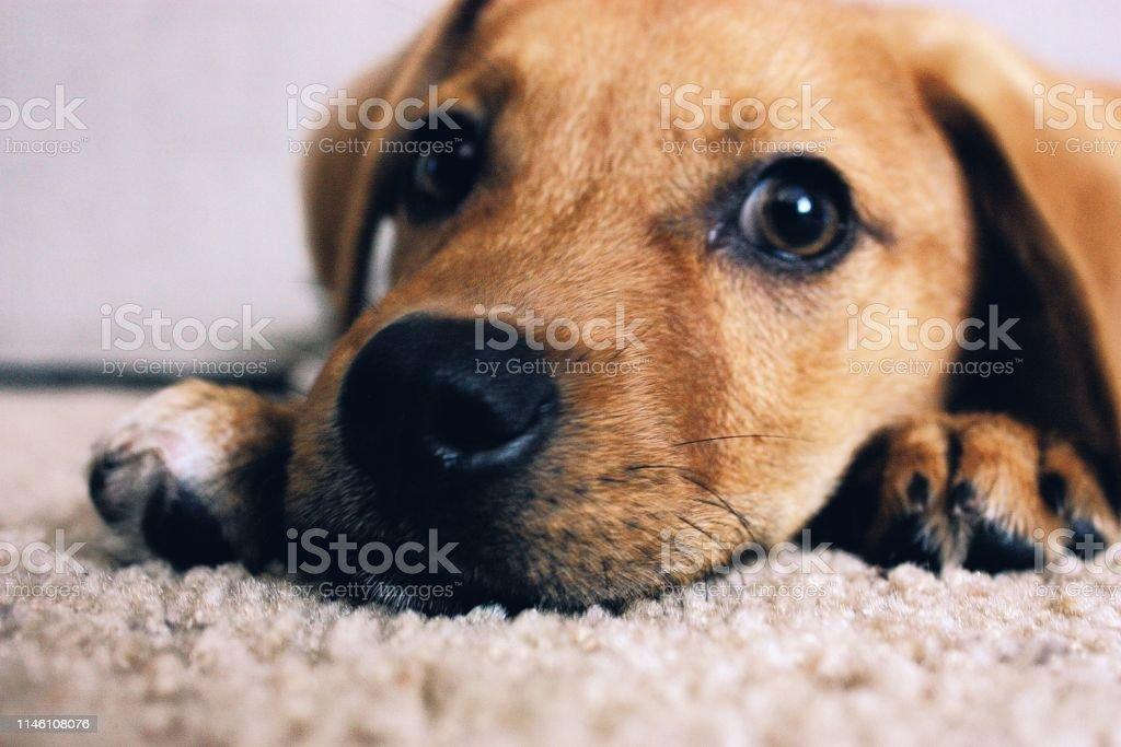 Portrait of a puppy on carpet