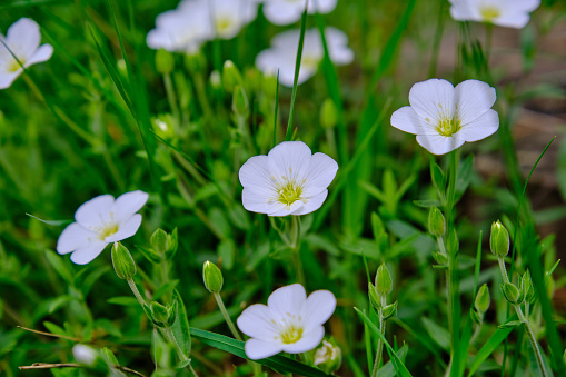 Close-up pure white flowers of showy evening primrose