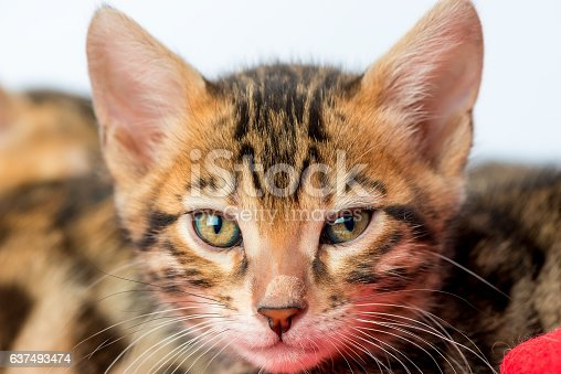 626958754 istock photo close-up purebred kitten posing on a white background 637493474