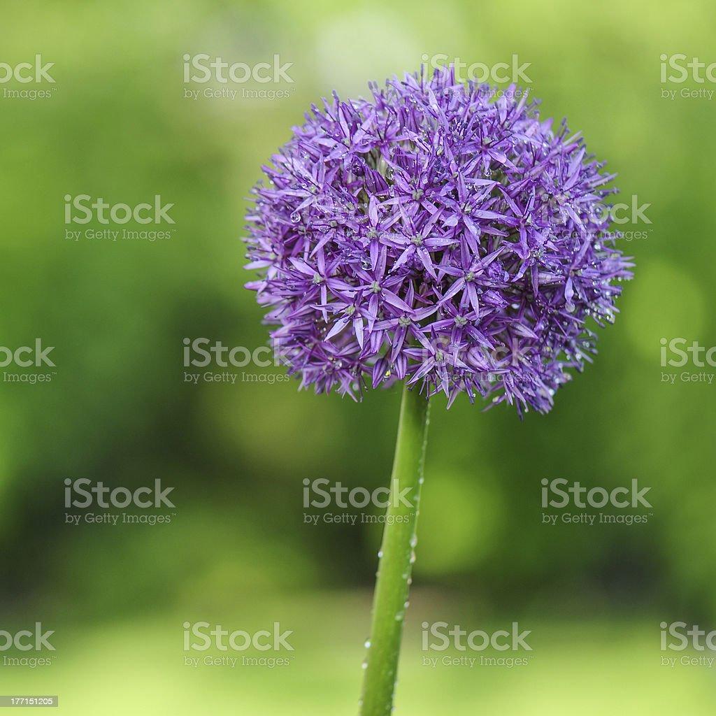 Close-up purple ball - flowers royalty-free stock photo