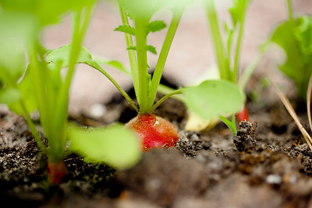 Close-up radishes growing in a garden. Homegrown organic vegetables. stock photo