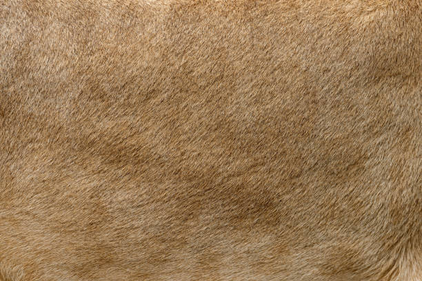 Closeup real lion fur texture Closeup real lion skin texture. Lion fur background texture image background animal hair stock pictures, royalty-free photos & images