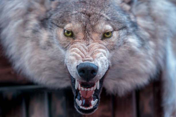 Closeup real wolf head skin texture. stock photo