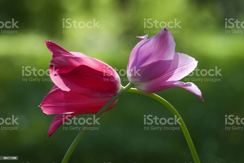 Closeup red and purple tulips bent over each other in grass royalty-free stock photo
