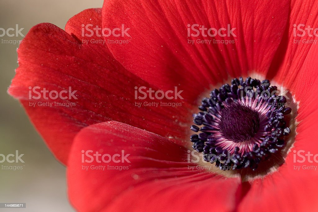 Close-up Red Anemone flower royalty-free stock photo