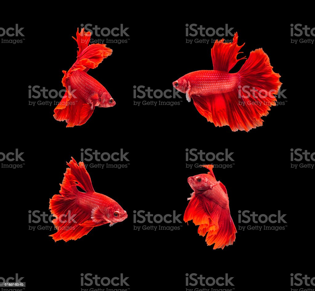 closeup red beautiful small siam betta fish with isolate backgro stock photo