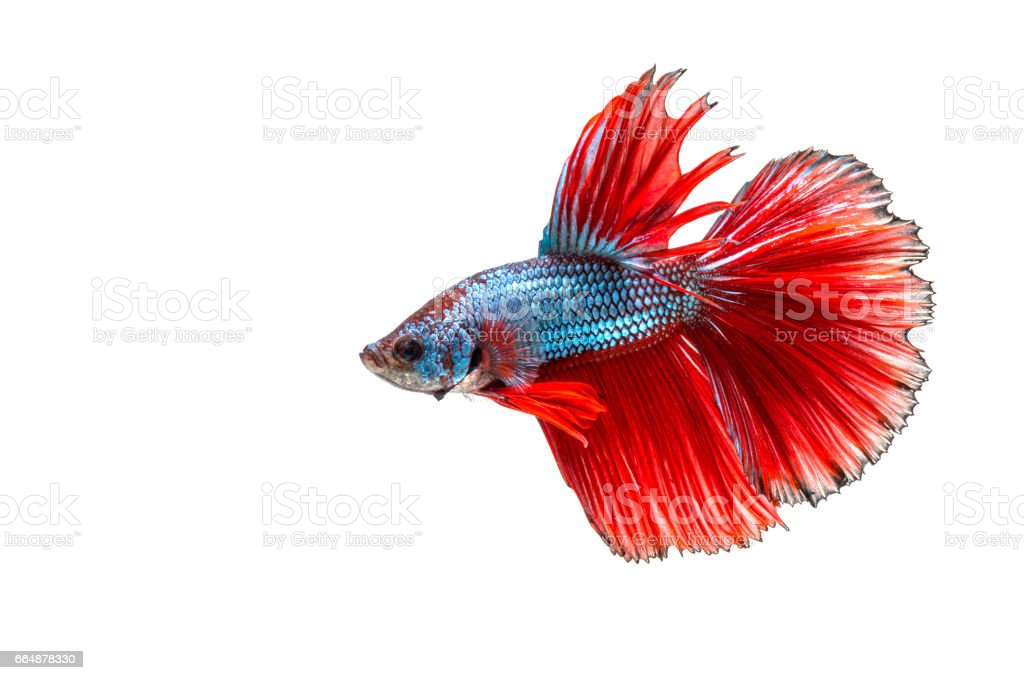 Closeup Red Beautiful Small Siam Betta Fish With Isolate Background ...