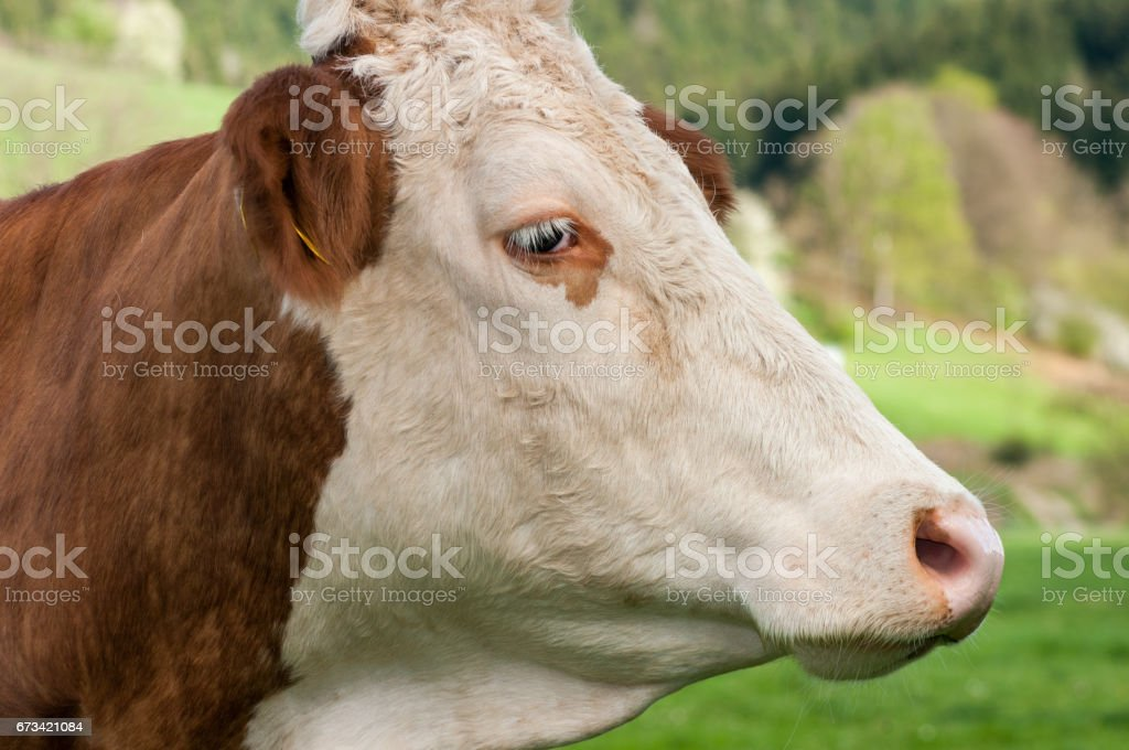 Closeup red cow portrait on nature background. stock photo