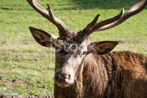 istock Close-up Red Deer 175170532