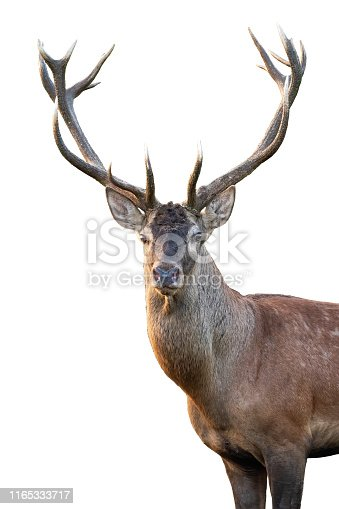 Close-up of red deer, cervus elaphus, stag head with antlers standing in summer isolated on white background. Cut out front view portrait of wild male mammal deer backlit at sunset.