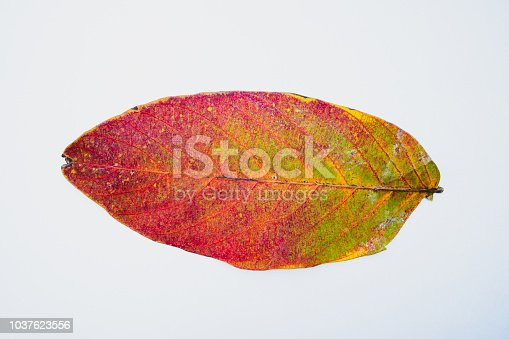 Closeup red dry leaf isolated on white background