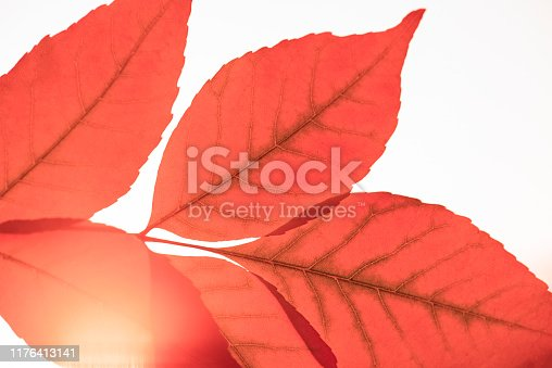 Close-up red leaves on the sunset. Nature background.