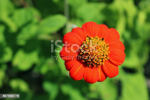 Closeup Red Mexican sunflower