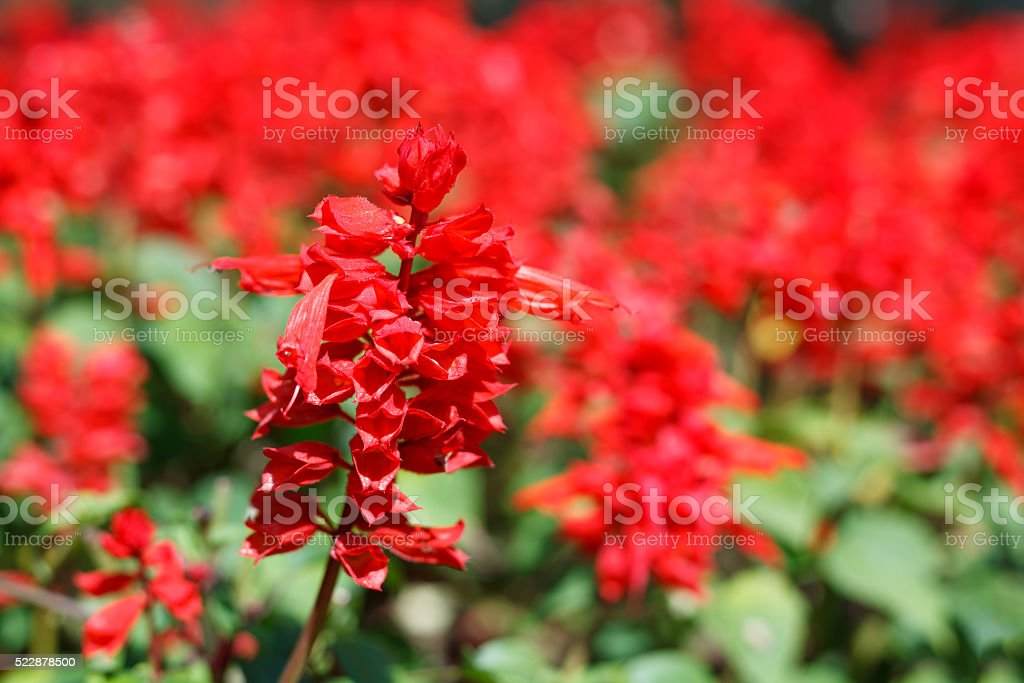 Closeup Red Salvia Stock Photo Download Image Now Istock