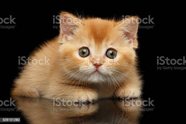 Closeup red scottish straight kitten looks question isolated black picture id526151260?b=1&k=6&m=526151260&s=612x612&h= yoob lhxd 3yi9d9dvparrx3njjuj0wiftdkatfo m=