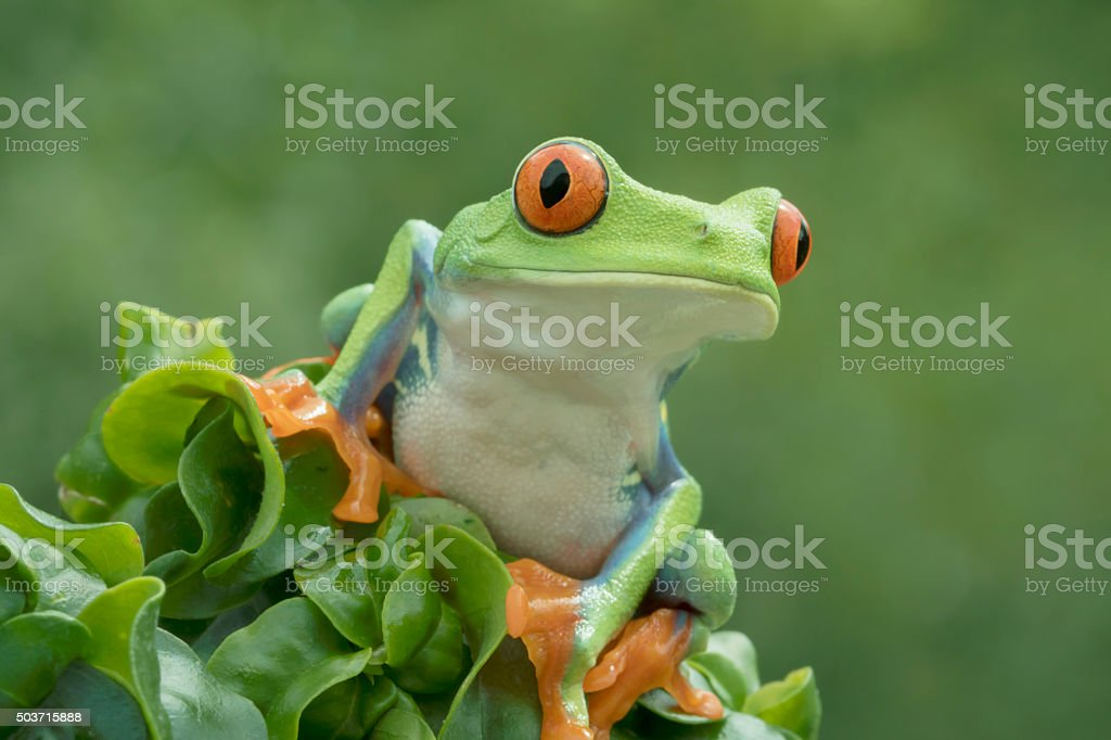Close-up Red-eyed Tree Frog in Rainforest stock photo