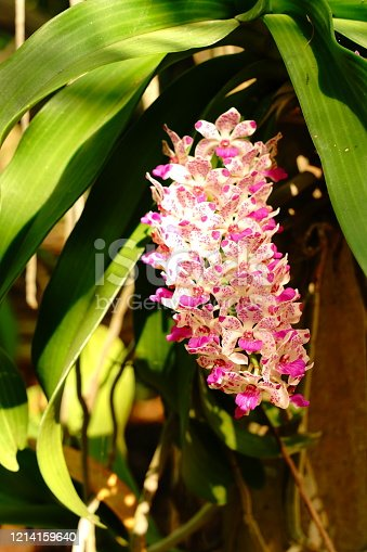 Rhynchostylis coelestis with small flowers of orchid