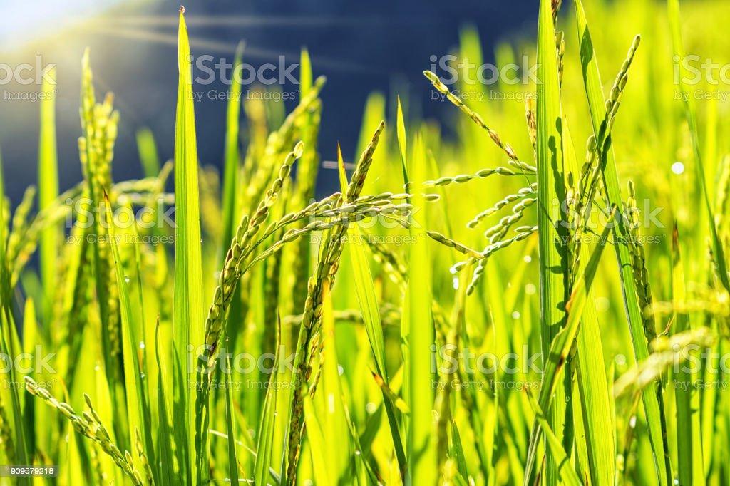 closeup Rice field stock photo
