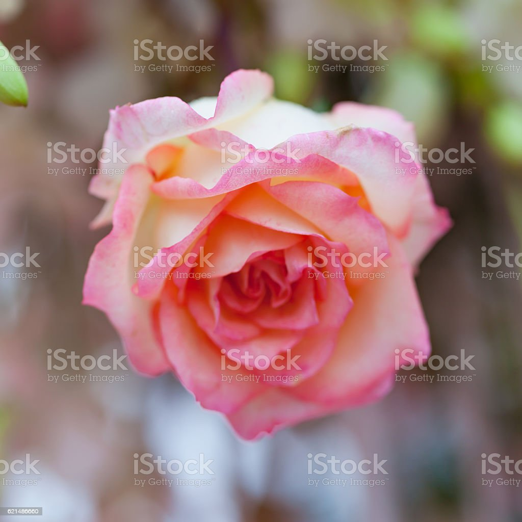 Closeup roses bouquet photo libre de droits