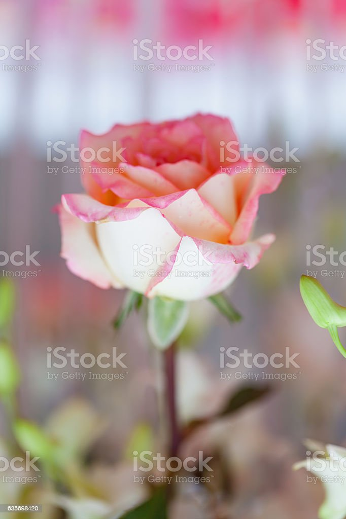 Closeup roses bouquet royalty-free stock photo