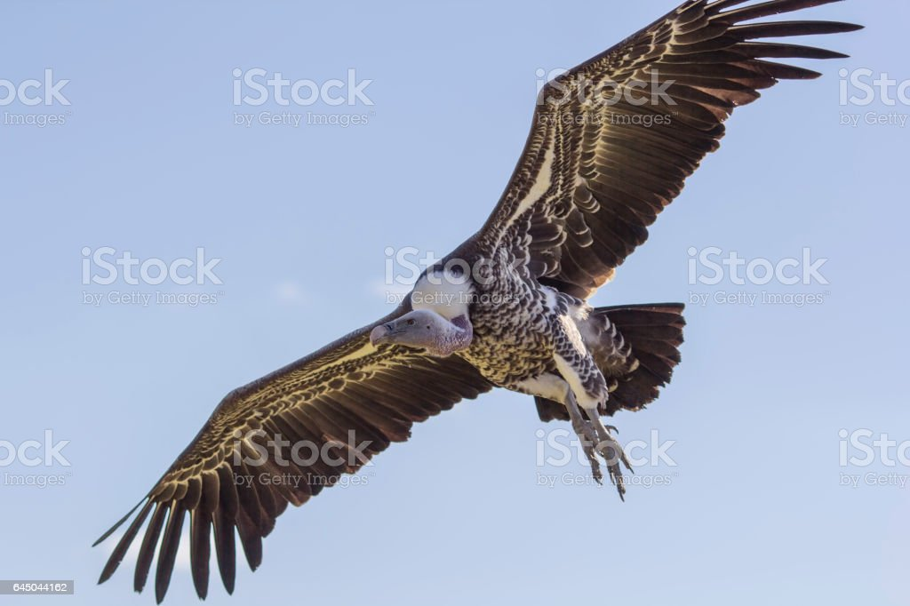 Close-up Ruppells griffon vulture in flight from below stock photo