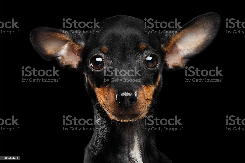 Closeup Sadly Toy Terrier Puppy Looking in Camera, Black Isolated stock photo